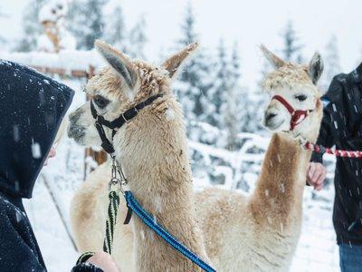 Winterwanderung mit unseren Alpakas und Lamas