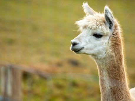 Alpaka-Wanderungen