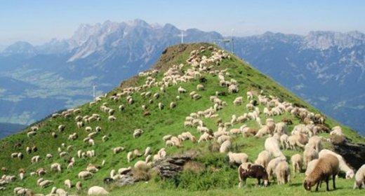700 Schafe am Hauser Kaibling